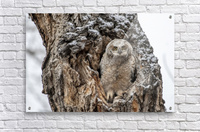 Great Horned Owlet - Can I come out yet  Acrylic Print