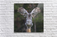 Great Grey Owl - Cleared for Take Off  Acrylic Print