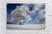 White Windbuche in Black Forest  Acrylic Print