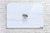 Two Coyote Acrylic Print