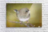 Dark Eyed Junco with Texture  Acrylic Print