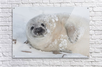 You can call me Snowball! Acrylic Print