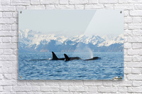 killer whale, or orcas, Orcinus orca, pod in traveling in Resurrection Bay, Kenai Fjords National Park, outside Seward, southcentral Alaska, spring  Acrylic Print