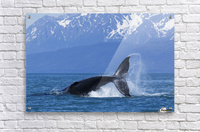 A Humpback Whale calf frolicks in Lynn Canal near Berners Bay, Inside Passage, Alaska  Acrylic Print