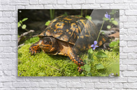Eastern box turtle on sphagnum moss among blue violets; Connecticut, USA  Acrylic Print
