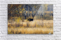 Early light in Gros Ventre  Acrylic Print