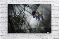When Cosmos will be blue  Acrylic Print