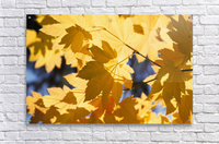 Vine Maples Leaves In Autumn  Acrylic Print