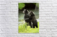 Two Grizzly Bears  Acrylic Print