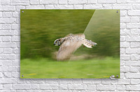 Great Horned Owl (Bubo Virginianus)  Acrylic Print