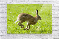 Hare Hopping In The Grass  Acrylic Print