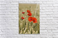 Wildflowers; Poppies In A Grain Field  Acrylic Print