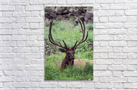 Bull Elk Resting In Alpine Meadow With Antlers In Velvet; Yellowstone National Park, Wyoming, Usa  Acrylic Print
