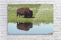 Bison (Bison Bison) On Grassy Meadow With Reflection In Pool  Acrylic Print