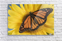 Monarch Butterfly On Sunflower.  Acrylic Print