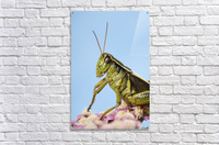Grasshopper Close-Up.  Acrylic Print