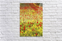 Abundance of red poppies in a field; Whitburn, Tyne and Wear, England  Acrylic Print