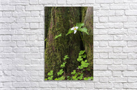 A Trillium grows from the trunk of a Western Red Cedar tree; Jewell, Oregon, United States of America  Acrylic Print