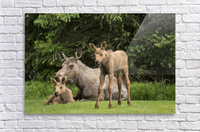A cow moose (alces alces) relaxes on a lawn with her twin calves; Anchorage, Alaska, United States of America  Acrylic Print