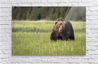 Brown bear (ursus arctos) in Lake Clark National Park; Alaska, United States of America  Acrylic Print