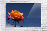 Pink and Orange Rose with Blue Sky  Acrylic Print