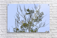 Two Blue Jays in Tree 1 abstract  Acrylic Print