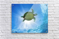 Hawaii, Green Sea Turtle (Chelonia Mydas) An Endangered Species.  Acrylic Print