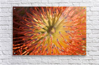 Close-Up Top View Red Pin Cushion Protea Blossom Or Leucospermum, Texture Detail  Acrylic Print