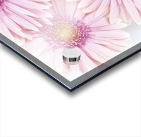 Close-Up Of Pink Daisies Set Together On White Background Studio Shot Acrylic print