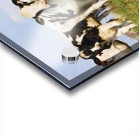 View Of Cows, Bas-Saint-Laurent Region, Quebec, Canada Acrylic print