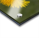Dandelion macro Acrylic print