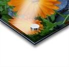 Orange Daisies & Bee Acrylic print