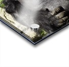 Gorilla Glare Acrylic print