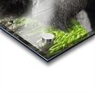 Gorilla Headache Acrylic print