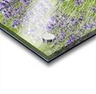 Lavender plants 7 Acrylic print