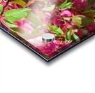 Ticonderoga Crab Apple Flowers in May Acrylic print