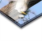 Mating Season - Great Egrets II Acrylic print