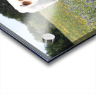 Longhorn and Bluebonnets Acrylic print