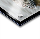 Brown Pelican II - HDR Acrylic print