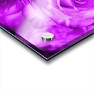 Rose purple  Acrylic print