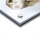 Short Eared Owl - Eyes wide open Acrylic print