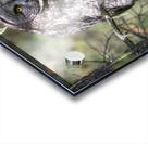 Great Grey Owl - Hunting mode Acrylic print
