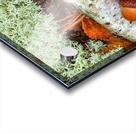 Pin Oak Leaf ap 1557 Acrylic print