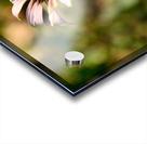 Autumn Echinacea Acrylic print