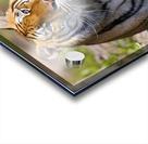 Tiger Watching Acrylic print