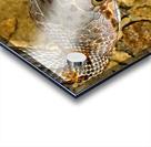 Baird's Rat Snake Tongue Flick Acrylic print