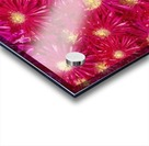 Trailing Ice Plant (Lampranthus Spectabilis) Acrylic print
