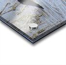 Northern Shoveler 1VP Acrylic print