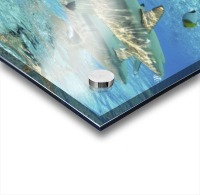 French Polynesia, Rangiroa, Blue Lagoon, Blacktip Reef Shark (Carcharhinus Melanopterus). Acrylic print