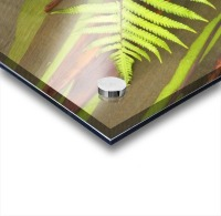 Hawaii, Maui, Hana, Fern And Rainbow Eucalyptus Tree. Acrylic print